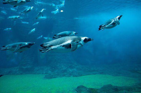 Los pingüinos, auténticos expertos bajo el agua