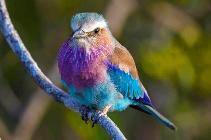 Rolieiro-de-peito-lilás