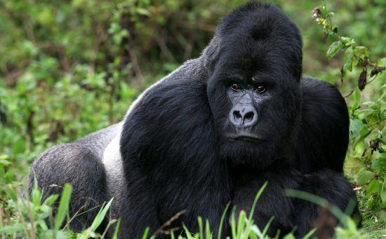 Gorilla trekking in Rwanda is a bucket-list travel item for 2020