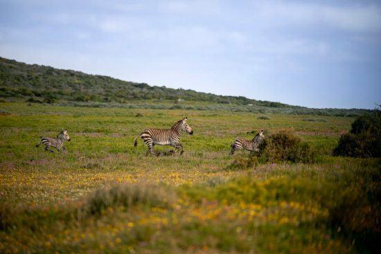 Trois zèbres gambadant à travers les champs de fleurs.