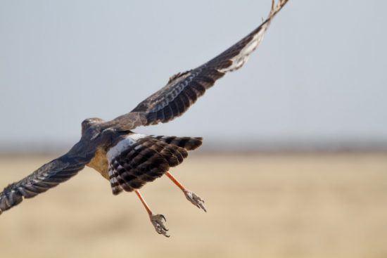 Que voir en Afrique ? De magnifiques aigles dans le Parc d'Etosha en Namibie.