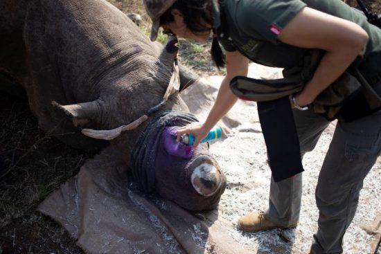 Eine Frau sprüht einem Nashorn ein wohltuendes, lila Spray auf das abgesägte Horn