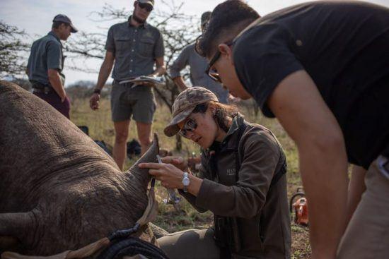 Tierschützer kümmern sich um ein betäubtes Spitzmaulnashorn