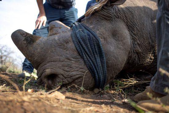 Opération de sauvetage d'un rhinocéros