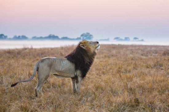 El león, una de las estrellas de cualquier safari.