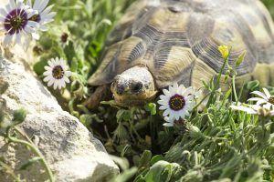 Tortue dans les fleurs du Parc National pendant la saison de floraison.