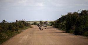 Zèbre traversant la route sableuse du Parc National de la Côte Ouest