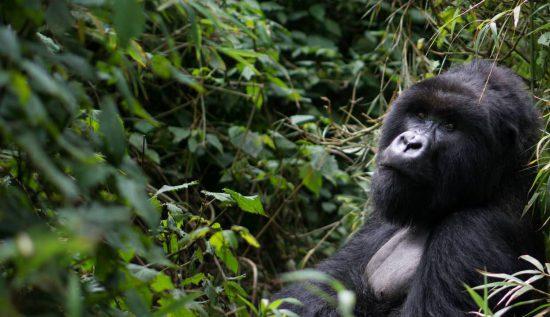 Sea testigo del gorila de montaña en Ruanda