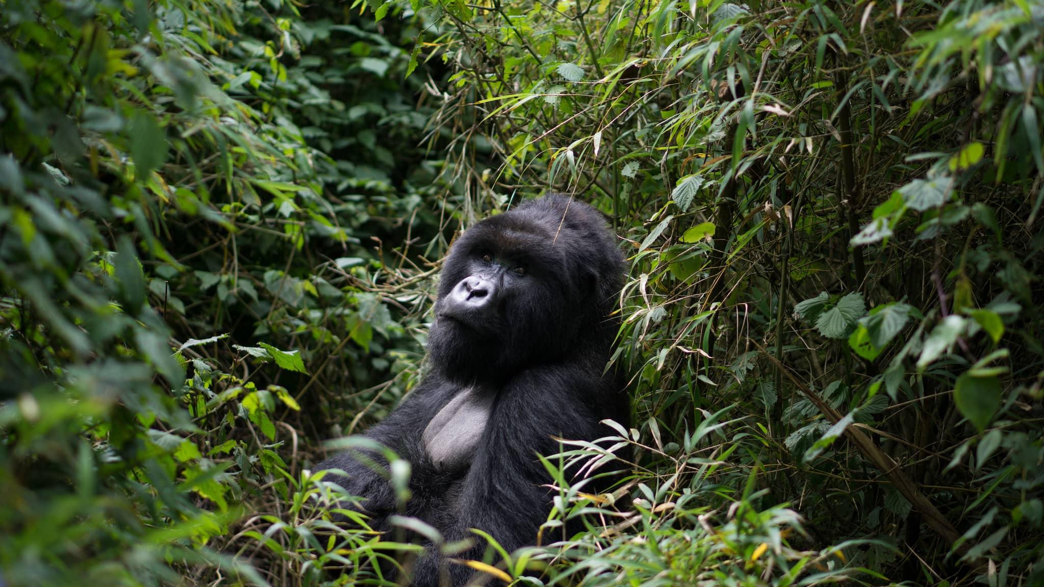 Gorilla lacht Nachwuchs an