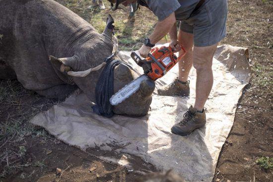 Mit Kettensäge zum Schutz der Nashörner