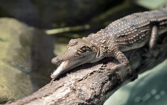 Bebê crocodilo