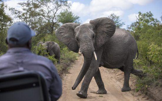 Timbavati | Eléphant traversant un chemin de terre battue