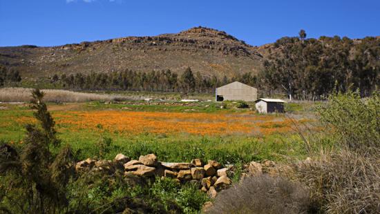 Campo de flores silvestres em Cederberg, África do Sul