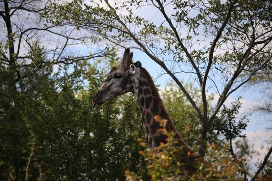 Girafa é fotografada em safári no Parque Nacional Victoria Falls