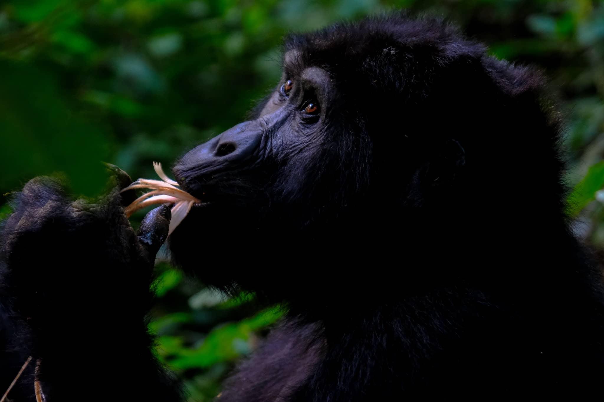 Ein Gorilla in Uganda knabbert an einer Blüte