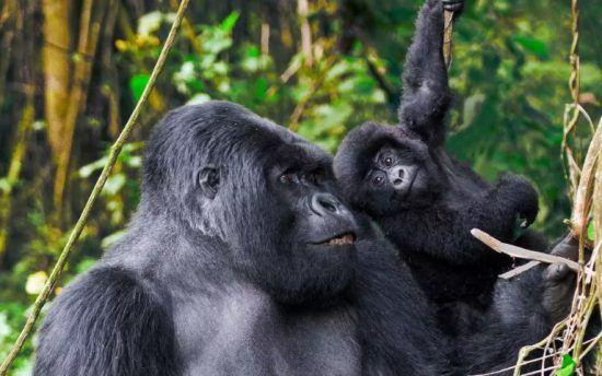 Las crías permaneces con sus madres hasta los tres años.