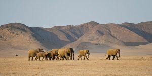 Desert adapted elephants of Damaraland