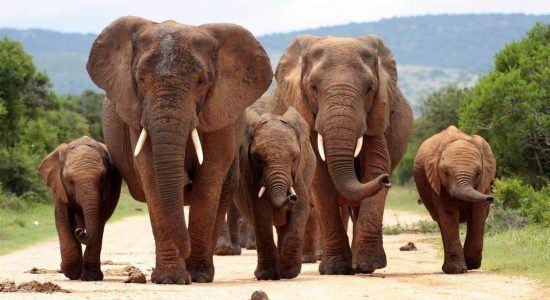 Malariafreie Safari in Südafrika: Eine Elefantenherde marschiert im Addo Elephant Park einen Weg entlang