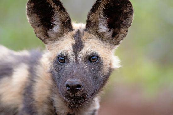 Nahaufnahme eines Afrikansichen Wildhundes