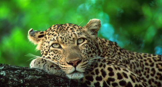 leopards are some of the Kruger's most sought-after and treasured species