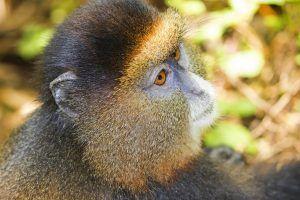 Voyage au Rwanda | Le singe doré