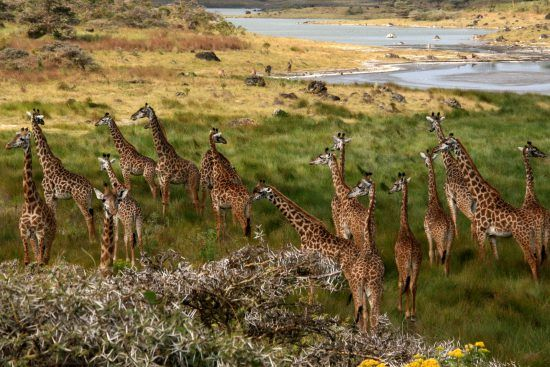 Manada de jirafas en el Parque Nacional de Arusha