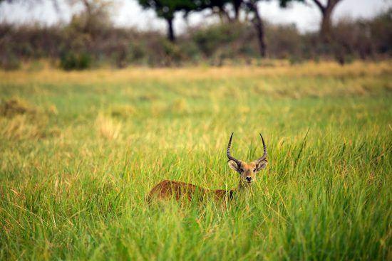 Lechwe é fotografado durante safári no Botsuana
