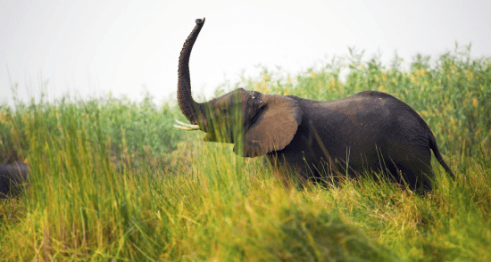 Elefante é fotografado durante safári em Botsuana