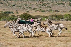 Un safari sur la Garden Route en Afrique du Sud lors d'un road-trip : à Kwandwe, réserve privée où aperçevoir des zèbres, mais aussi des lions, des giraffes et des éléphants.