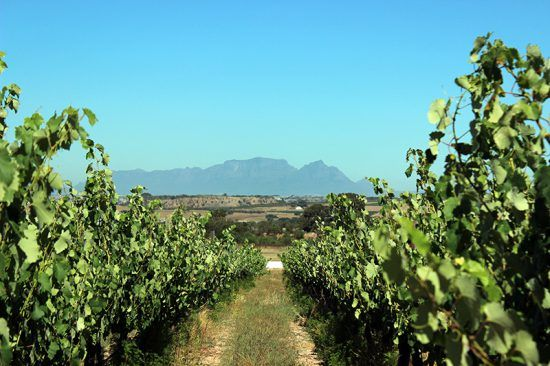 During our ride, mountains like Devil's Peak and Table Mountain could be seen at a distance, framed by vineyards