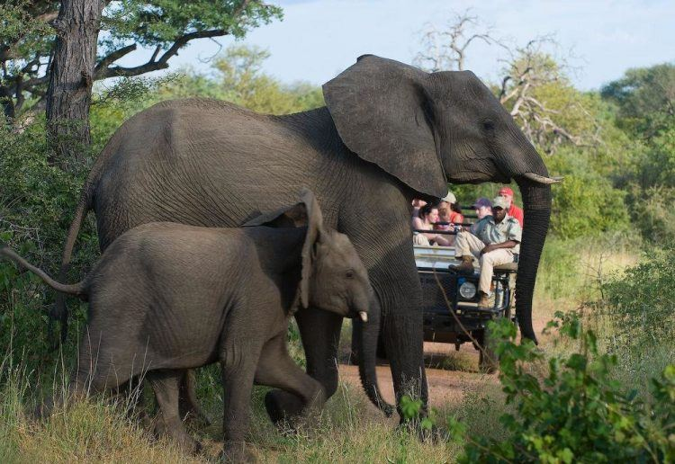 Elephants cross the road in Kruger National Park.