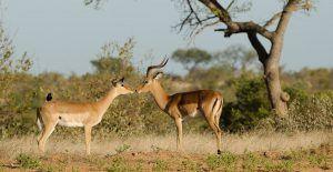 Timbavati et sa faune sauvage abondante.