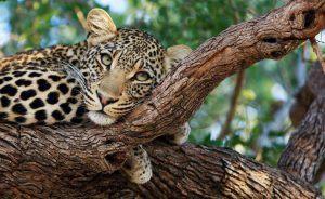 Léopard perché sur une branche d'arbre à Timbavati en Afrique du Sud, la réserve qui abrite également le lion blanc.