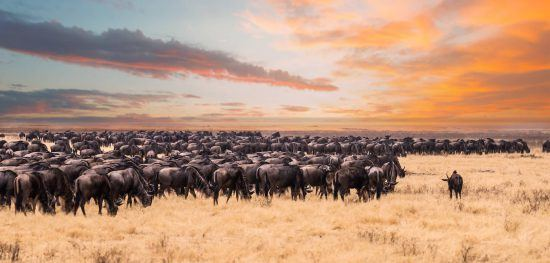 The great migration domination the Serengeti's expansive landscape