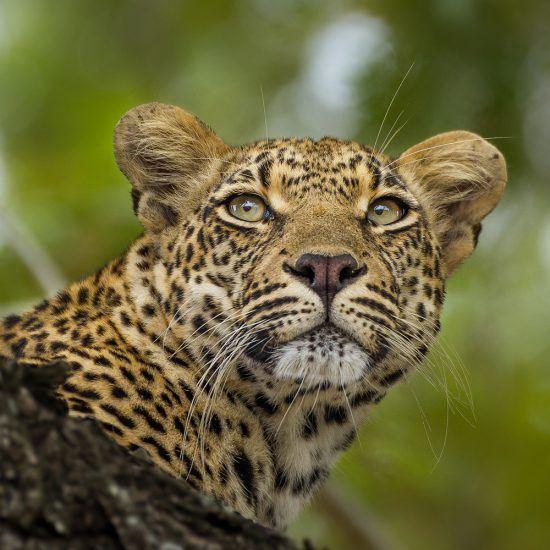 "Ndzanzeni, miembro actual de la ""familia real"" de leopardos en Londolozi."