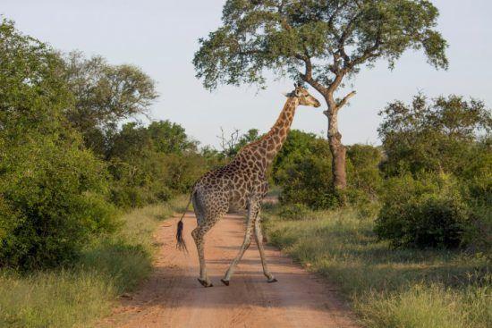 Timbavati | Girafe