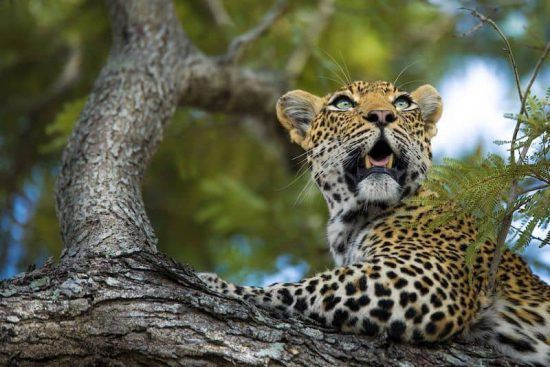 A leopard is spotted in the Sabi Sand Game Reserve.
