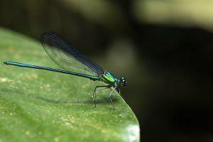 Afrique de l'Ouest | Jolie libellule du Parc National d'Ozdala-Kokoua