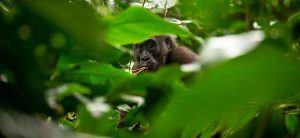 Afrique de l'Ouest | Gorille des plaines occidentales