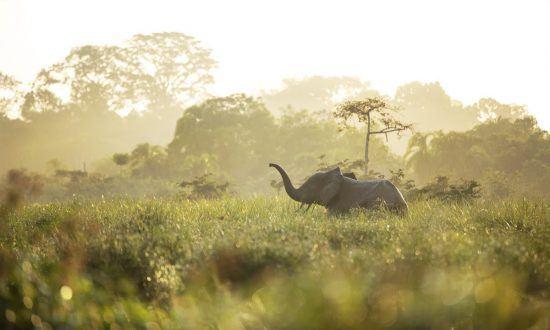 Ein Waldelefant im hohen Gras