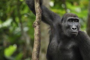 Différence entre le Congo et la RDC | Gorille des plaines occidentales