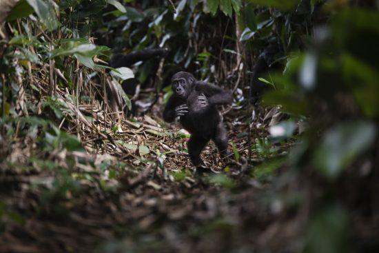 Ein kleiner Westlicher Flachlandgorilla läuft durch den Regenwald in Zentralafrika