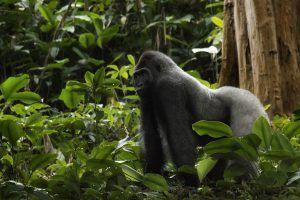 Différence entre le Congo et la RDC | Gorille des plaines occidentales mâle dit Silver Back