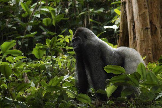 Ein Westlicher Flachlandgorilla auf allen Vieren im Regenwald