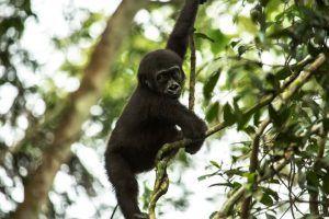 Différence entre le Congo et la RDC | Bébé gorille des plaines occidentale