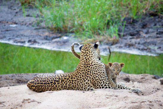 Leopardenweibchen mit Nachwuchs im Sabi Sand Game Reserve