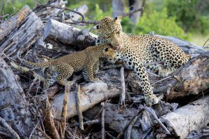 safe as a leopard and cub