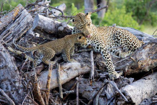 Leopardenweibchen mit Nachwuchs