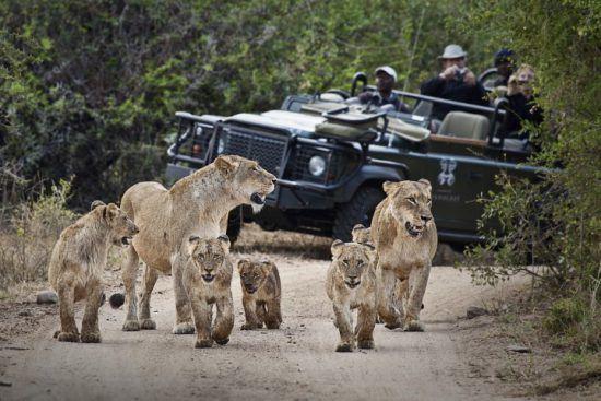 Londolozi-Gäste in einem Pirschfahrzeug beobachten ein Löwenrudel mit Nachwuchs auf einem Sandweg
