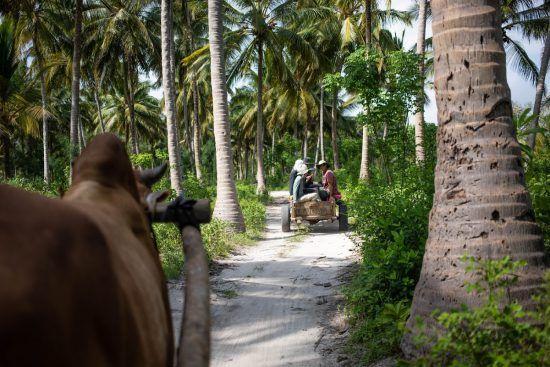 Ochsenwagen in einem Wald am Strand von Sansibar